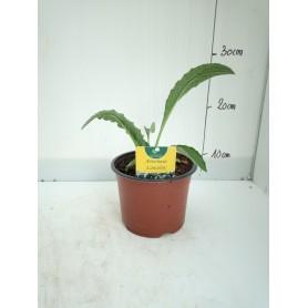 Plants Artichaud lancelot production