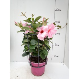 Dipladénia rose pot 14 IT clip 695