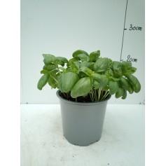Basilic pot 14 IT 299