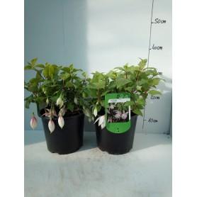 Fuchsia Annabel 595