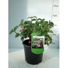 Fuchsia Constance