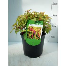 Fuchsia Genii 595