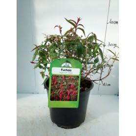 Fuchsia Regia var regia 595