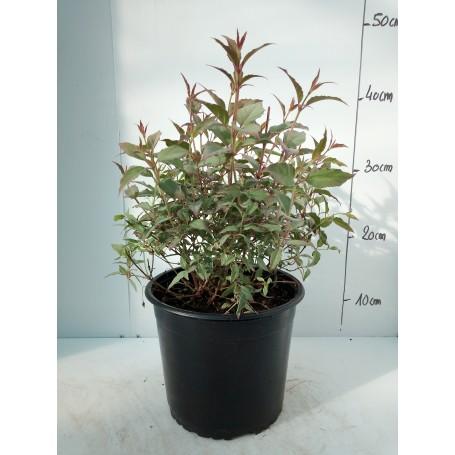 Fuchsia Magellanica Tricolor 595