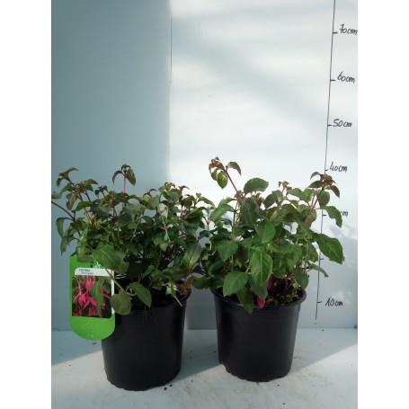 Fuchsia Mrs Popple 595