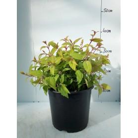 Fuchsia Magellanica Aurea 595