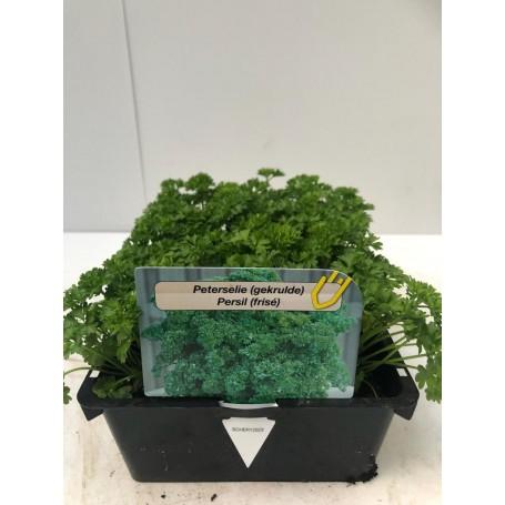 Persil - Légumes