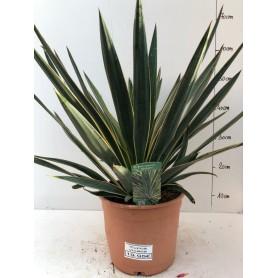 Yucca gloriosa variegata 1995