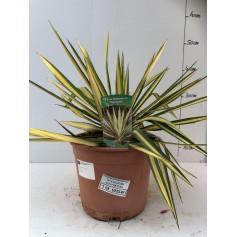 Yucca filamentosa 1995