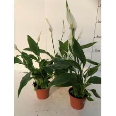 Mini Spathyphyllum 199