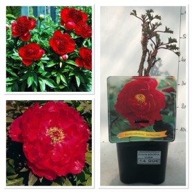 Pivoine arbustive rouge 1495