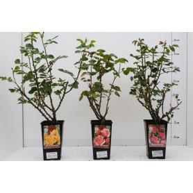 Rosiers buissons 5,95€ pièce