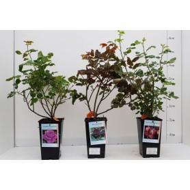 Rosiers buissons protégé 11,95 pièce