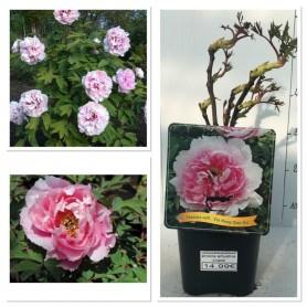 Pivoine arbustive rose 1499