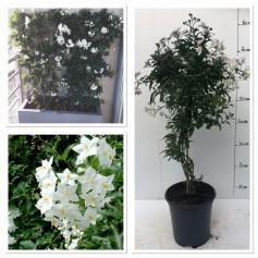 Solanum  Jasminoide 9.95€