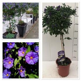Solanum rantonetti sur tige 995