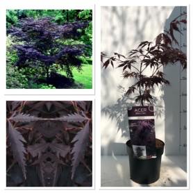 Acer palmatum Black Lace 1995