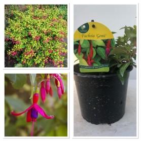 Fuchsia production Génii 395 10/3