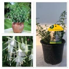 Fuchsia Hawkshead 395 10/3