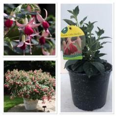 Fuchsia Celia Smedley 395 10/3