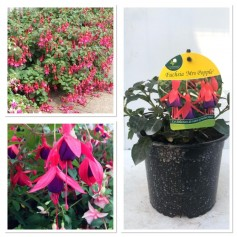 Fuchsia production Mrs Popple 395 10/3