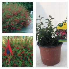 Fuchsia production Riccartonii 395 10/3