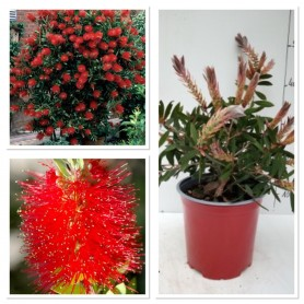 Callistemon Citrinus Pot rouge IT 1195