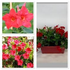 Jardinière dipladenia rouge 19.95€