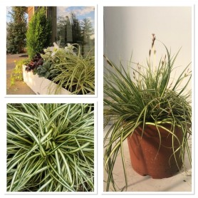 Carex evergold pot 17/ 5.99€