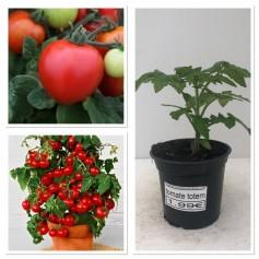 Plants de tomates TOTEM 1.99€