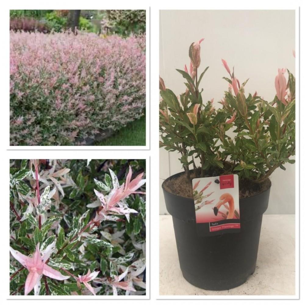 Salix Flamingo 7.95€ - Le carrefour de la fleur