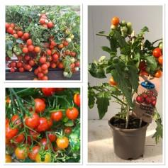 Tomate Cherry Gros pied 9.95€