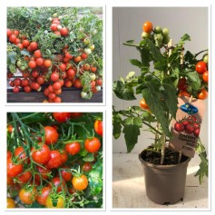 Tomate Cherry Gros pied 9.95€