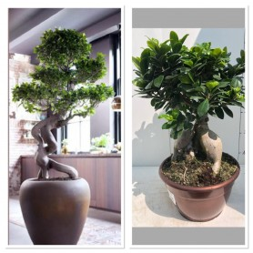 Ficus Bonsai Ginseng Pot25/ 36.95€