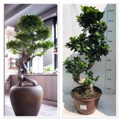 Ficus Bonsai Ginseng en S 49.95€