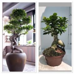 Ficus bonsai Ginseng pot 17/ 11.95€
