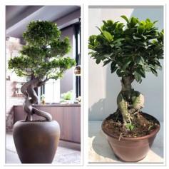 Ficus Bonsai Ginseng pot20/ 19.95€