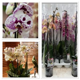 Phalaenopsis 2 tiges 12.95€