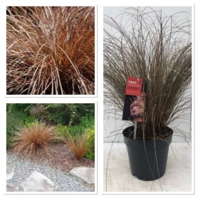 Carex bronze form pot 17/ 5.99€
