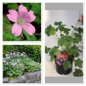 Géraniums rose ' wargrave pink' 3.95€