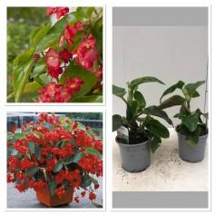 Begonia Dragon 1.99€