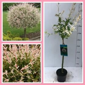 Salix Integra Nakuro Nishiki 1/4 tige 8.95€