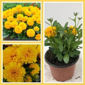 Coreopsis à fleurs double Pot 17 3.95€