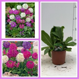 Primula Denticulata DESTOCKAGE 0.99€