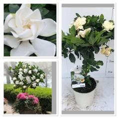Gardenia Jasminoide 11.95€