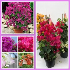 Bougainvilliers Pyramide 14.95€