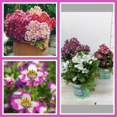 Schizanthus rosé 3,95€