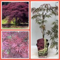Acer palmatum Crimson Queen 19.95€
