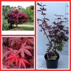 Acer Palmatum Atropurpureum Pot 19/ 19.95€