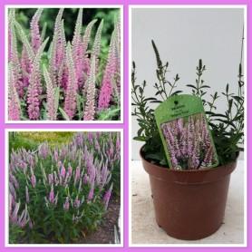 Veronica Inspire Pink Pot 19 /4.95€